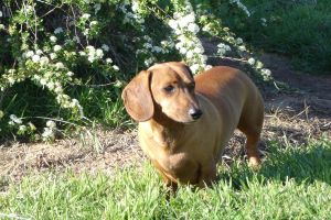 dachshund housebreaking